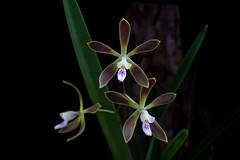 Encyclia acutifolia (peterb1504) Tags: encyclia acutifolia orchid orchidee flower blossom cuba nature