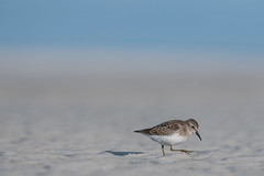 A Little Solitude (PeterBrannon) Tags: beach bird calidrisminutilla leastsandpiper nature sarasotacounty shorebird smallsandpiper wildlife isolation lighting sandpiper solitude
