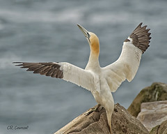 Wing Flap (CR Courson) Tags: capestmarys newfoundland northerngannet pelecanidae sulabassanus wingflap birds birdphotography nikon naturephotography nature crcourson chuckcourson crcoursonimagescom