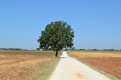 Paesaggi toscani (monicamalfatti) Tags: toscana paesaggi landscape nature tree green fullimmersion viafrancigena tuscany