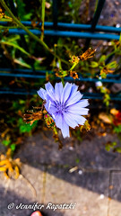 Chicory (Bernsteindrache7) Tags: summer flora fauna flower bloom blossom blume blue color city park landscape outdoor