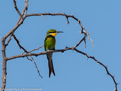 Swallow-tailed Bee-eater (xrxss15) Tags: africa animalia animals aves beeeaters birds kgalagaditransfrontierpark meropidae meropshirundineus northerncape schwalbenschwanzspint southafrica swallowtailedbeeeater tiere vgel outofacar
