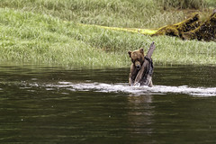 Checking the river depth ? (Alan Vernon.) Tags: brown bear coastal ursus grizzly arctos horribilis plays river water stream log nature wildlife wild mammal american bears omnivore predator shore