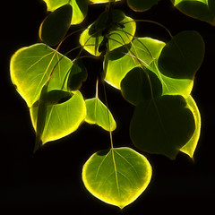 Aspen Leaves (arbyreed) Tags: plant green leaves backlit aspen greenplant aspentree fractaliusfilter arbyreed greenaspenleaves