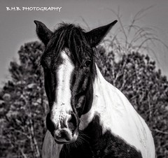 FEVER ( B.H.B. PHOTOGRAPHY ) Tags: blackandwhite horse white black beautiful canon eyes flickr pretty head ears fever horseshead beautifulhorse bhbphotography bhbphotography
