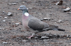 Columbidae - Columba palumbus - Houtduif - Beerzelberg (11) (Eichnon) Tags: bird pigeon dove pigeons aves doves vogel duiven duif columbidae eichnon