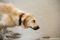 Tory (linda_mcnulty) Tags: ireland dog pet beach water puppy happy gold golden lab labrador play shake stick doggy pup fetch donegal bundoran shaking playingfetch playfetch