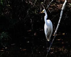 9SB Shangri La 101112-152 DSC_2227 f (Oliver Leveritt) Tags: bird nature bigma bayou snowyegret sigmabigma nikond90 oliverleverittphotography bigmaos sigma50500mmf4563apodgoshsm sigmabigmaos shangrilabotanicalgardensnaturecenter