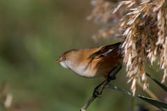 Panure à moustaches (m-idre31 - 5 millions de vues merci) Tags: bird marais oiseau 34 hérault roselières panureàmoustaches