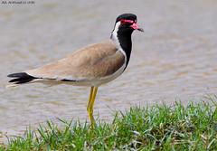Rid-Wattled Lapwing (arfromqatar) Tags: birds qatar canon600mmf4 canon1dmarkiv birdsofqatar  arfromqatar  qatar2022fifaworldcup abdulrahmanalkhulaifi