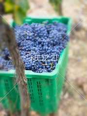 grapes on the crates from tuscany, italy (remafood8877) Tags: blue italy food sun plant tree green industry nature fruit vintage season botanical leaf vineyard juicy healthy berry colorful purple natural wine sweet eating farm decorative cluster farming seasonal harvest grow scenic vine sunny fresh winery climbing valley crop snack tuscany ingredients grapes bunch production taste growing organic agriculture crate grapevine ripe nutritious ripened greencrates