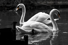 Swans on the Anker (design_guy) Tags: blackandwhite orange reflection nature water reflections river swan wildlife swans anker riveranker