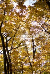 autumn trees (erinflow8877) Tags: autumn trees sky fall nature leaves forest season outdoors photography maple flora day branch scenic nobody nopeople autumnleaves foliage growth daytime idyllic tranquil plantlife dense naturalphenomenon colorimage beautyinnature autumntree nonurbanscene lowangleview