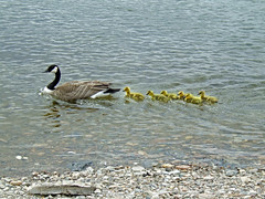 Proud Mom (Gerry Marchand) Tags: goose canadagoose saskatchewanriver gosslings e900