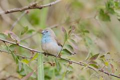 Blue breast / Blue waxbill (Uraeginthus angolensis) (Arne Kuilman) Tags: blue bird southafrica walk small trail nikkor vogel bergendal naturetrail cordonbleu bluewaxbill uraeginthusangolensis bluebreastedcordonbleu angoleesblauwfazantje フナシセイキチョウ