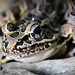 "Pickerel Frog (Rana palustris) - face • <a style=""font-size:0.8em;"" href=""http://www.flickr.com/photos/39798370@N00/8098795568/"" target=""_blank"">View on Flickr</a>"