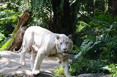 Omar, the white tiger (-Faisal Aljunied-) Tags: white zoo nikon stripes tiger bigcat 70300mm prowl maneater d7000
