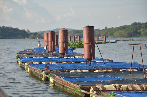 Source of the Nile (SoN) tilapia cages on Lake Victoria. Photo by Jens Peter Tang Dalsgaard, 2012.