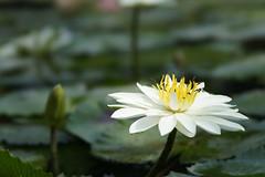 Water lily (ddsnet) Tags: plant flower waterlily sony 99  aquaticplants  slt      lily water    nymphaeatetragona    nymphaea plants singlelenstranslucent aquatic nymphaea tetragona 99 99v sltsinglelenstranslucent tetragona