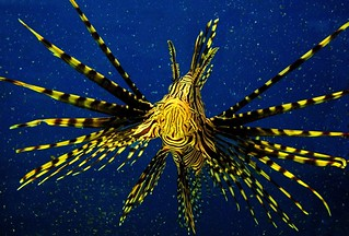 Underwater with a Lionfish