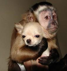 Monkey hugging dog (Dona Mincia) Tags: cute art co hug peace friendship affection humor paz harmony amizade abrao companion gracinha harmonia companheirismo coleguismo companhion monkeyanddog macacoecachorro