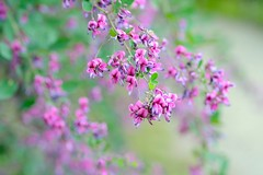 Bush Clover (love_child_kyoto) Tags: pink autumn flower macro kyoto violet    wildflower  botanicalgarden  naturesfinest bushclover lespedeza   masterphotos  artisticflowers  japaneseclover  nikond800   d800 october202012