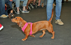 nyc newyorkcity dog cute dogs brooklyn dachshund mutts weinerdog