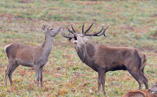 Red deer stag & hind - Cervus elaphus