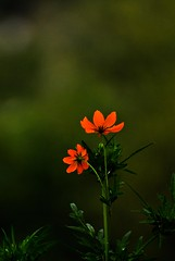 two (ranjini.v) Tags: flowers orange green colors nikon cosmos d60 ranjini