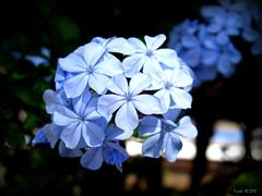 Plumbago auriculata (Trinh Brunch) Tags: flowers periwinkle plumbago finepixs9500