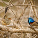 Female and Male Variegated Fairy-Wren
