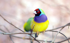 Gouldian finch (floridapfe) Tags: animal zoo korea finch everland gouldian gouldianfinch