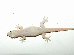 Gekkonidae>Hemidactylus frenatus Asian house gecko DSCF1796 (Bill & Mark Bell) Tags: exmouth westernaustralia australia geo:town=exmouth geo:state=westernaustralia geo:country=australia geo:lon=11425453egeolat2217752sgeoalt8m 11425453e2217752salt8m taxonomy:kingdom=animalia animalia taxonomy:phylum=chordata chordata taxonomy:class=reptilia reptilia taxonomy:order=squamata squamata taxonomy:suborder=sauria sauria taxonomy:family=gekkonidae gekkonidae taxonomycommonnameasianhousegecko asianhousegecko taxonomy:genus=hemidactylus hemidactylus frenatus taxonomybinomialnamehemidactylusfrenatus hemidactylusfrenatus animal fauna lizard