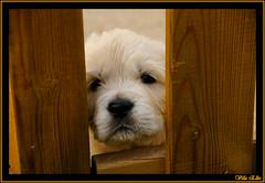 perro cachorro de golden retriever del criadero villa ellie (Villa Ellie Golden Retriever) Tags: golden retriever ellie perro cachorro villa perros cachorros
