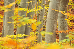 pure gold (.:: Maya ::.) Tags: autumn trees orange mountains color fall yellow woods   beech  rodopi  rhodope   dobralak  mayaeye mayakarkalicheva