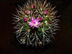 Neoporteria wagenknechtii (nolehace) Tags: sanfrancisco cactus flower fall succulent bloom 1012 wagenknechtii neoporteria nolehace fz35
