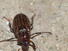 Bettle - Cucarrón (Hugo Quintero) Tags: macro insect bettle insecto raynox greatnature cucarron
