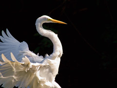 An Elegant Landing (ToGroom- I am Bionic!) Tags: lighting nature morninglight ngc feathers npc greategret elegance birdinflight specanimal avianexcellence blinkagain