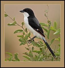 Long-tailed Fiscal (Lanius cabanisi) (Rainbirder) Tags: ngc amboseli longtailedfiscal laniuscabanisi rainbirder