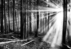 Natural escapes (Christopher J. Morley) Tags: trees light bw sun white black tree vancouver forest nikon hiking walk north boom mount rays sunbeam fromme d600 alw