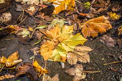 Wet leaves (scyrene) Tags: autumn orange brown leaves yellow concrete grey path stanleypark