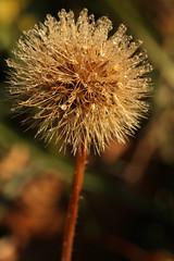 Dew Deco (gripspix (OFF)) Tags: plant nature natur pflanze dew droplet tau tropfen samenstand vertrocknet driedoff seedstand 20121102