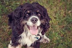 Luke 11.02.12 (Lauren Flores Photography) Tags: dog brown white black cute smile puppy 50mm eyes backyard nikon florida luke lucas devotion tricolor colored spaniel cocker bradenton parti f14g d700 laurennflores