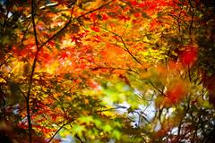 My Autumn Days (moaan) Tags: life leica autumn color digital 50mm october glow dof bokeh f10 autumncolors momiji japanesemaple utata aomori glowing noctilux northeast tinted 2012  m9 tinged autumnaltints inlife leicanoctilux50mmf10 leicam9 kawauchirivervalley