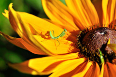 Praying Mantis (champbass2) Tags: yellow gloriosadaisy smallprayingmantis smallprayingmantisonflowers