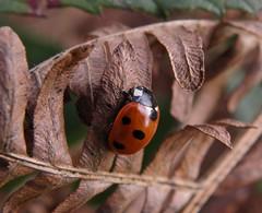 Ubiquitous (rockwolf) Tags: insect shropshire beetle explore ladybird bracken ubiquitous coleoptera coccinellaseptempunctata omnipresent sevenspotladybird explored 7spotladybird rockwolf merringtongreen