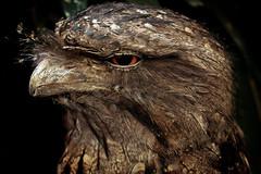 Get My Best Side [explored] (Shooting Ben) Tags: travel bird eye nature wildlife beak feathers australia owl queensland australiana australianwildlife tawnyfrogmouthowl australiannaturephotography