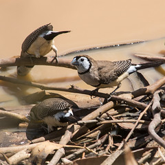 double-barred finches (Fat Burns) Tags: bird finch australianwildlife australianbird doublebarredfinch