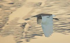 fly away ([s e l v i n]) Tags: sea india bird water creek fly flying bombay mumbai egret arabiansea birdphotography flyingegret ©selvin sewricreek