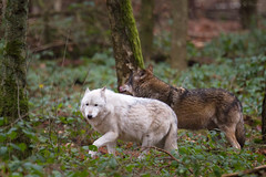 Two wolfs (Cloudtail) Tags: animal mammal wolf tier hanau wildpark sugetier fasanerie